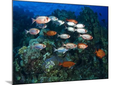 Big Eye Squirrel Fish Shoal, St. John's Reef-Mark Webster-Mounted Photographic Print