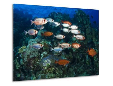 Big Eye Squirrel Fish Shoal, St. John's Reef-Mark Webster-Metal Print