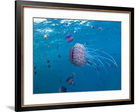 Purple Ocean Jelly Fish, Ras Banas, Red Sea-Mark Webster-Framed Art Print