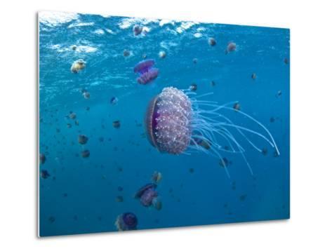 Purple Ocean Jelly Fish, Ras Banas, Red Sea-Mark Webster-Metal Print