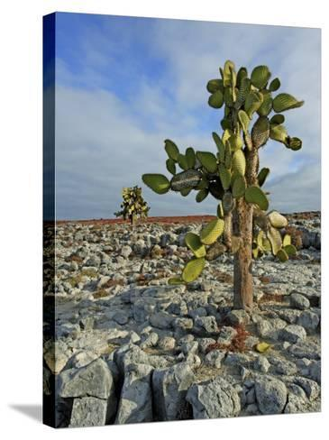 Giant Prickly Pear Cactus (Opuntia Spp.)-Manfred Gottschalk-Stretched Canvas Print