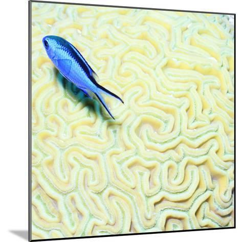 Blue Chromis Damselfish (Blue Chromis) Floating over Giant Brain Coral, Paradise Reef-Dan Herrick-Mounted Photographic Print