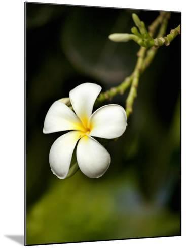 Frangipani Flower Detail-April Maciborka-Mounted Photographic Print