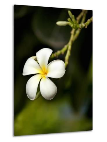 Frangipani Flower Detail-April Maciborka-Metal Print