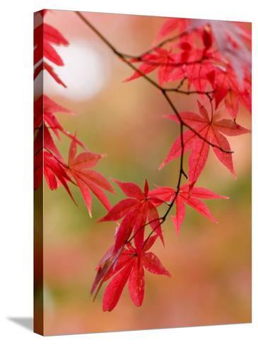 Red Maple Leaves at Okochi-Sanso Villa Teahouse and Gardens-Brent Winebrenner-Stretched Canvas Print