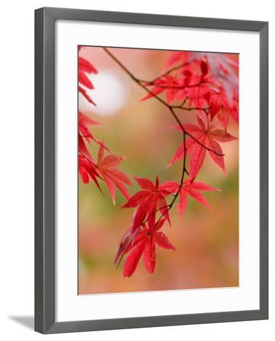 Red Maple Leaves at Okochi-Sanso Villa Teahouse and Gardens-Brent Winebrenner-Framed Art Print