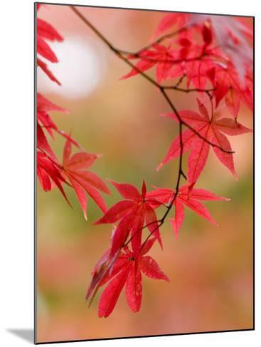 Red Maple Leaves at Okochi-Sanso Villa Teahouse and Gardens-Brent Winebrenner-Mounted Photographic Print