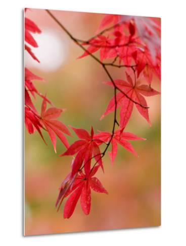 Red Maple Leaves at Okochi-Sanso Villa Teahouse and Gardens-Brent Winebrenner-Metal Print