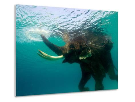 Male Indian Elephant (Elephas Maximus Indicus) Swimming Underwater-Astrid Schweigert-Metal Print