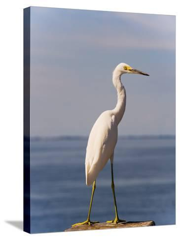 Great White Heron-Thomas Winz-Stretched Canvas Print