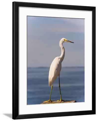 Great White Heron-Thomas Winz-Framed Art Print