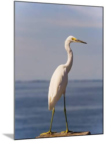 Great White Heron-Thomas Winz-Mounted Photographic Print