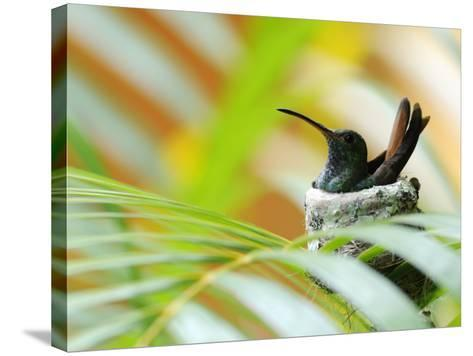 Rufous-Tailed Hummingbird (Amazilia Tzacatl) Sitting in Nest-Shannon Nace-Stretched Canvas Print