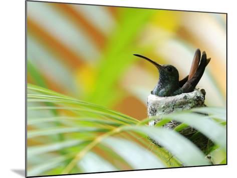 Rufous-Tailed Hummingbird (Amazilia Tzacatl) Sitting in Nest-Shannon Nace-Mounted Photographic Print
