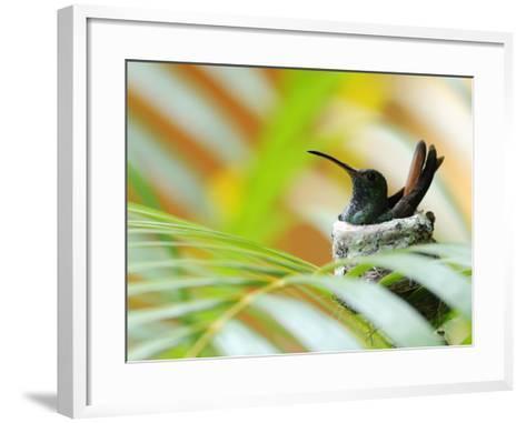Rufous-Tailed Hummingbird (Amazilia Tzacatl) Sitting in Nest-Shannon Nace-Framed Art Print