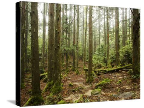 Forest Along Arakawa Trail to Jomon Sugui (Giant Tree)-Shayne Hill-Stretched Canvas Print