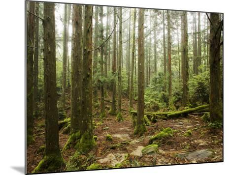 Forest Along Arakawa Trail to Jomon Sugui (Giant Tree)-Shayne Hill-Mounted Photographic Print