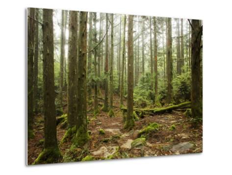 Forest Along Arakawa Trail to Jomon Sugui (Giant Tree)-Shayne Hill-Metal Print