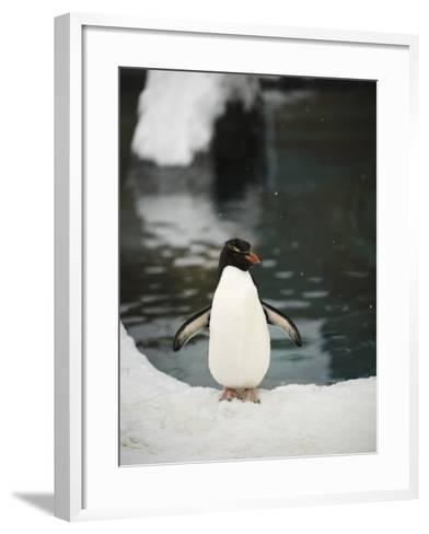 Penguin Standing Next to Pool in Snow at Asahiama Zoo-Shayne Hill-Framed Art Print