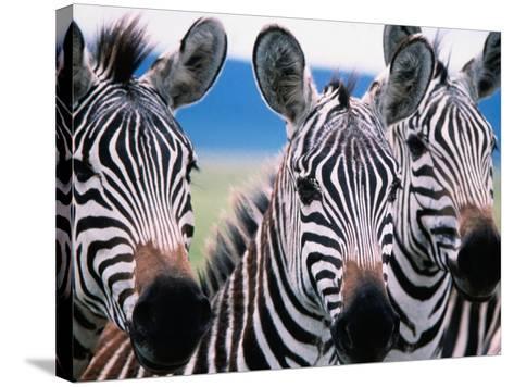 Group of Common Zebras-Tom Cockrem-Stretched Canvas Print