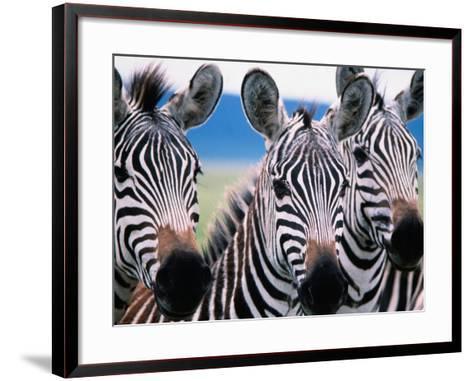 Group of Common Zebras-Tom Cockrem-Framed Art Print