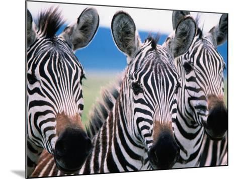 Group of Common Zebras-Tom Cockrem-Mounted Photographic Print