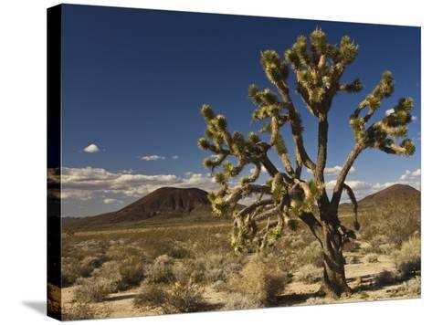 Joshua Tree in Cinder Cone Lava Beds Area from Aikens Mine Road in Mojave National Preserve-Witold Skrypczak-Stretched Canvas Print