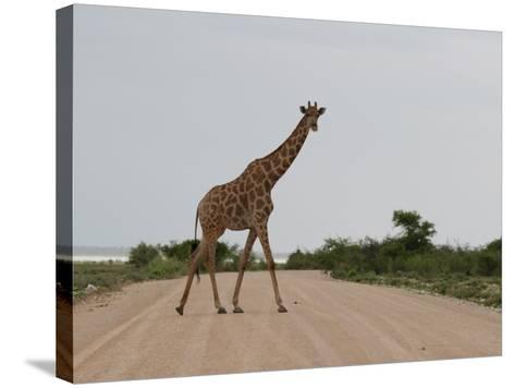 Giraffe Crossing the Road-Uros Ravbar-Stretched Canvas Print