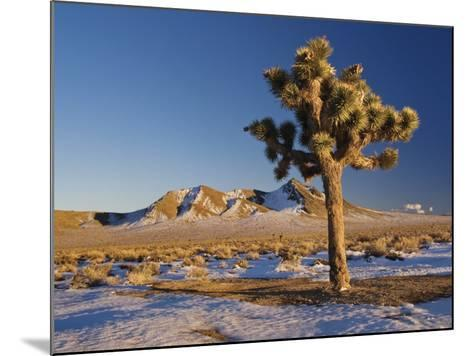 Joshua Trees at Darwin Plateau Covered with Snow after Winter Storm-Witold Skrypczak-Mounted Photographic Print