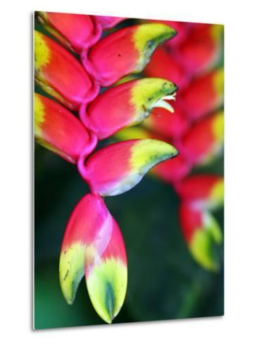 Colourful Shitulli Flower-Paul Kennedy-Metal Print