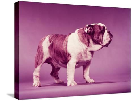 Brown and White Bulldog-H^ Armstrong Roberts-Stretched Canvas Print