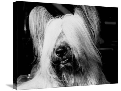 Skye Terrier With Hair Covering Eyes and Bottom Teeth Showing-H^ Armstrong Roberts-Stretched Canvas Print