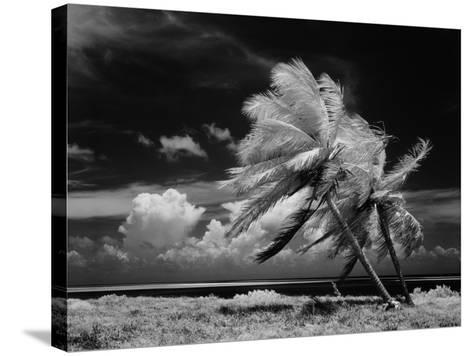 Palm Trees Blowing in Wind-H^ Armstrong Roberts-Stretched Canvas Print