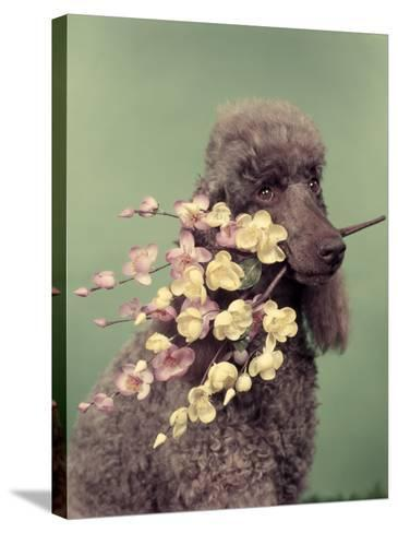 French Poodle Holding Flowers in Mouth-H^ Armstrong Roberts-Stretched Canvas Print