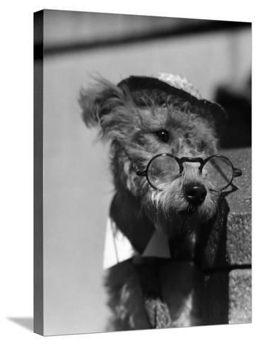 Terrier Dog Wearing Spectacles and Hat-H^ Armstrong Roberts-Stretched Canvas Print