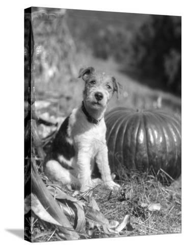 Wire Hair Terrier-H^ Armstrong Roberts-Stretched Canvas Print