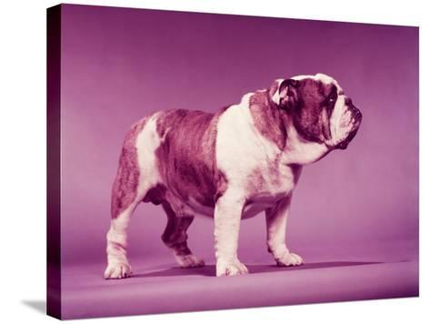 Bulldog-H^ Armstrong Roberts-Stretched Canvas Print
