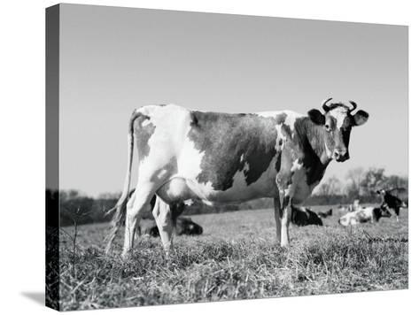 Guernsey Cow-H^ Armstrong Roberts-Stretched Canvas Print