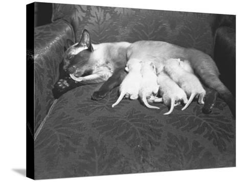 Siamese Cat Feeding Kittens-George Marks-Stretched Canvas Print