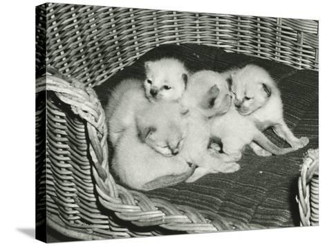 Four Kitten in Wicker Basket-George Marks-Stretched Canvas Print
