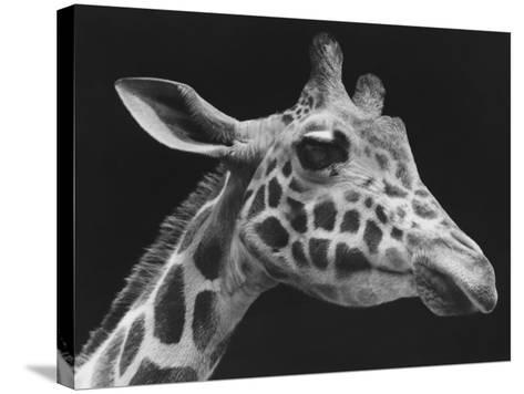 Giraffe's Head (B&W)-George Marks-Stretched Canvas Print