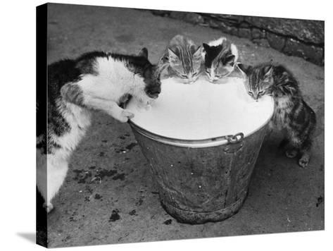Cat's Got the Cream--Stretched Canvas Print