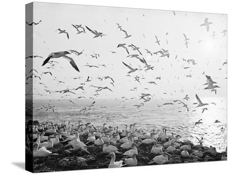 Seagulls Nesting--Stretched Canvas Print