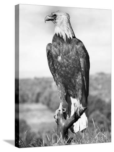 Bald Eagle-George Marks-Stretched Canvas Print