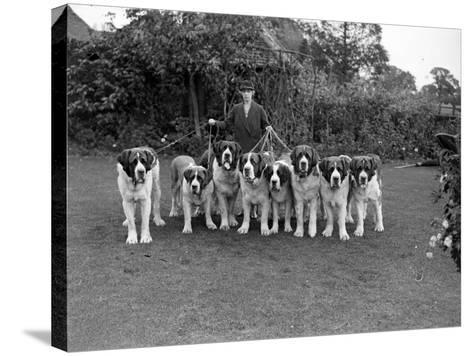 St Bernard Dogs--Stretched Canvas Print