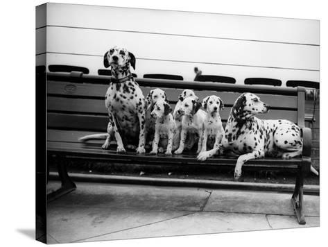Dalmatian Pups--Stretched Canvas Print