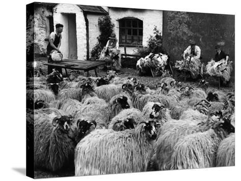 Sheep Shearing--Stretched Canvas Print