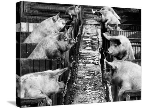 Pig Sty Gossip--Stretched Canvas Print