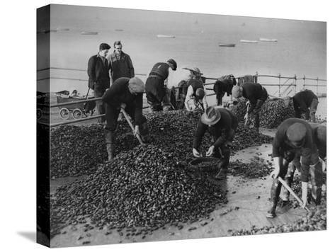 Mussel Catch--Stretched Canvas Print