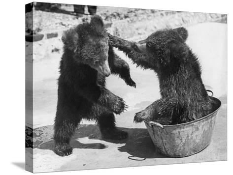 Bear Baiting--Stretched Canvas Print